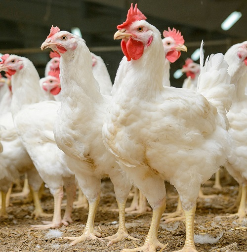 Complete Equipment and Solutions for Poultry Farms